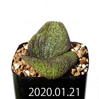Massonia longipes EQ870 Seedling 19231