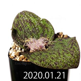 Massonia longipes EQ870 Seedling 19238