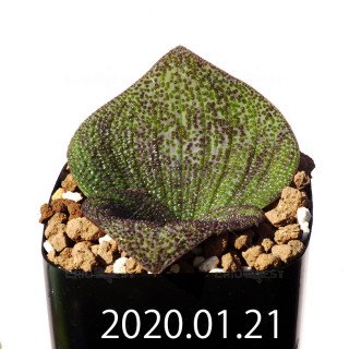 Massonia longipes EQ870 Seedling 19239