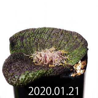 Massonia longipes EQ870 Seedling 19247