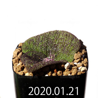 Massonia longipes EQ870 Seedling 19255