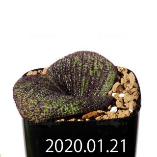 Massonia longipes EQ870 Seedling 19259