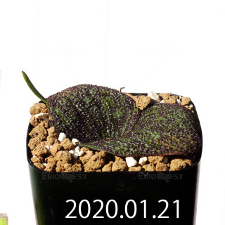 Massonia longipes EQ870 Seedling 19268