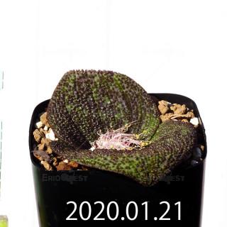 Massonia longipes EQ870 Seedling 19269