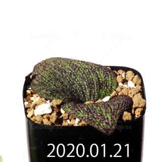 Massonia longipes EQ870 Seedling 19283