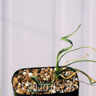 Geissorhiza corrugata EQ705 Seedling 19606