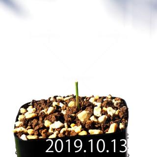 Lachenalia corymbosa EQ453 Seedling 8382