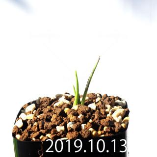 Lachenalia corymbosa EQ453 Seedling 8387