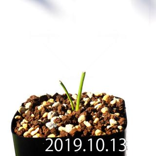 Lachenalia corymbosa EQ453 Seedling 8391
